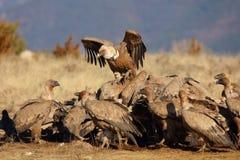 Groupe de consommation de vautours de griffon Photo libre de droits