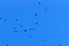 Groupe de corneilles volant contre un ciel bleu profond Image stock