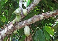 Groupe de cosses de cacao dans l'arbre Images stock
