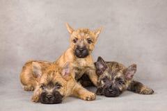 Groupe de crabot de chien terrier de cairn Photographie stock libre de droits