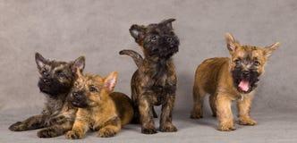 Groupe de crabot de chien terrier de cairn Images libres de droits