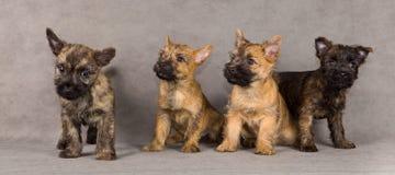 Groupe de crabot de chien terrier de cairn Photos libres de droits
