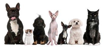 Groupe de crabots et de chats se reposant devant le blanc image stock