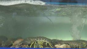 Groupe de crevette de mante dans l'aquarium banque de vidéos