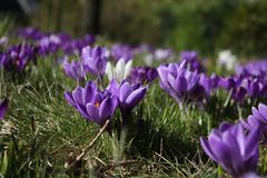 Groupe de crocusses au printemps Image stock
