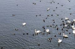 Groupe de cygnes et de canards Images libres de droits