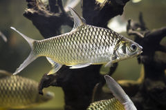 Groupe de cyprinida de poisson rouge Image stock