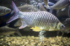 Groupe de cyprinida de poisson rouge dans l'eau douce bronzage Images libres de droits