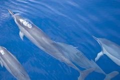 Groupe de dauphins Photos stock