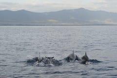 Groupe de dauphins nageant, Bali Photographie stock libre de droits