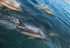 Groupe de dauphins, nageant dans l'océan Images libres de droits