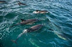 Groupe de dauphins, nageant dans l'océan Photo libre de droits