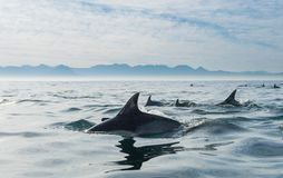 Groupe de dauphins, nageant dans l'océan Photographie stock