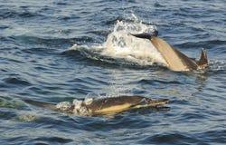 Groupe de dauphins, nageant dans l'océan et chassant pour des poissons Photos stock
