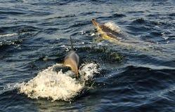 Groupe de dauphins, nageant dans l'océan et chassant pour des poissons Photo stock