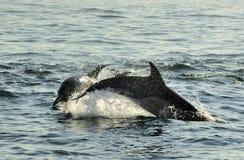 Groupe de dauphins, nageant dans l'océan et chassant pour des poissons Image stock
