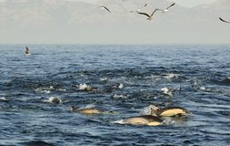 Groupe de dauphins, nageant dans l'océan et chassant pour des poissons Les dauphins sautants monte de l'eau Le terrain communal à Photo libre de droits