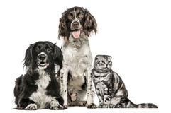 Groupe de deux chiens et d'un pli écossais photos libres de droits