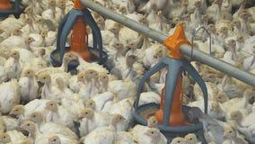 Groupe de dindes à la ferme Les petits poussins mangent de la cuvette clips vidéos