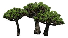 Groupe de Dragon Tree - séparé sur le fond blanc Image stock