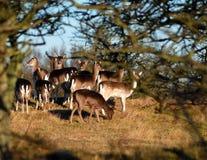 Groupe de famille de cerfs communs Image libre de droits