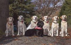 Groupe de famille de sept chiens d'arrêt de Labrador posés dehors images stock