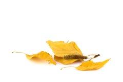 Groupe de feuilles de bouleau Photos stock