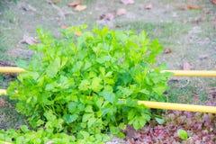 Groupe de feuilles fraîches de coriandre Photo stock