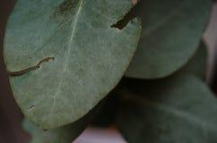 Groupe de feuilles vertes avec des marques des piqûres d'insectes, morsures des insectes sur quelques feuilles vertes images libres de droits