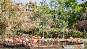 Groupe de flamants colorés roses dans un étang entouré par la végétation et les arbres verts photographie stock libre de droits