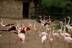 Groupe de flamants roses fonctionnant autour Photographie stock libre de droits