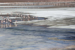 Groupe de flamants se tenant sur la lagune, Bolivie Images libres de droits