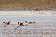 Groupe de flamants volant sur la lagune, Bolivie Photo stock