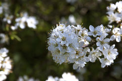 Groupe de fleur à plomb blanche avec le fond vert Photographie stock libre de droits