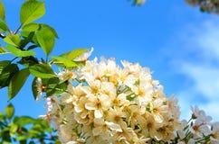 Groupe de fleur assez blanche de ressort images libres de droits