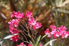 Groupe de fleurs éternelles roses Images libres de droits