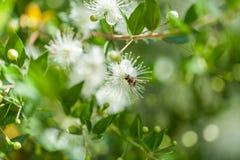 Groupe de fleurs blanches de bébé avec l'abeille dans la forêt d'arz au Liban du nord photo stock