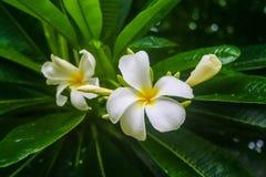 Groupe de fleurs de Frangipani Photographie stock libre de droits