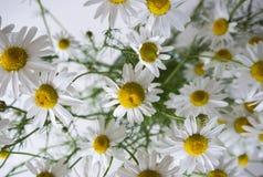 Groupe de fleurs de Matricaria sur le fond blanc Image libre de droits