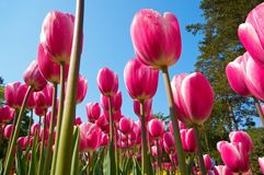 Groupe de fleurs de tulipe Image libre de droits