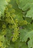 Groupe de fleurs de vigne Image stock