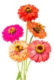 Groupe de fleurs de zinnia Photo stock