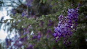 Groupe de fleurs de glycine pendant de l'arbre images stock