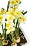 Groupe de fleurs jaunes Images libres de droits