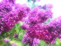 Groupe de fleurs lilas Images libres de droits