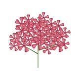 Groupe de fleurs rouges de Graveolens de Rose Geranium ou de pélargonium Images stock