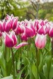 Groupe de floraison de cultivar de Triumph de tulipes Photos stock