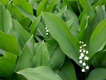 Groupe de floraison du muguet de ressort Images stock