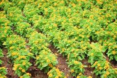 Groupe de floraison de jeune fleur dailsy jaune de Singapour dans le jardin images stock