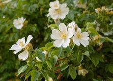 Groupe de fond de fleurs blanches Photographie stock libre de droits